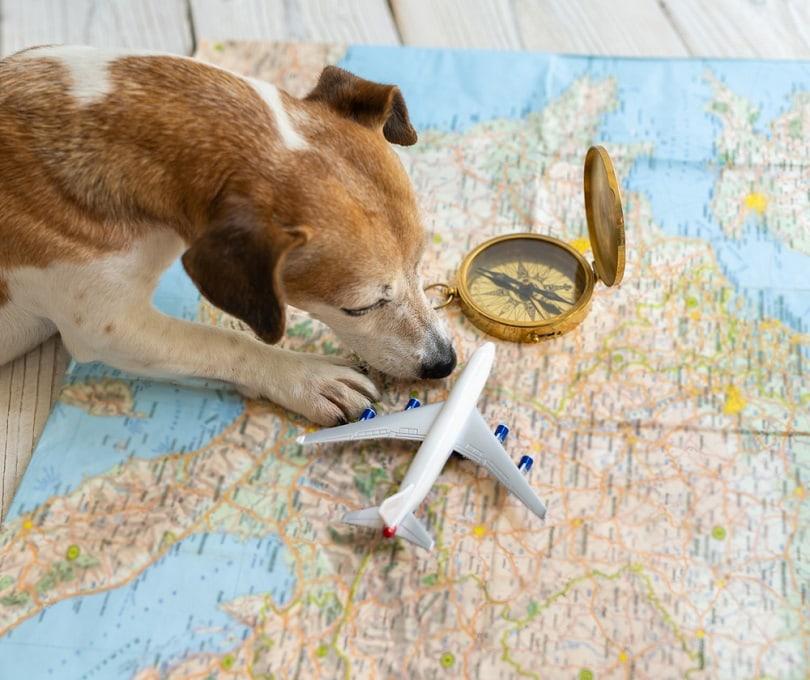 Jack-Russell-terrier-searching-for-flights_Iryna-Kalamurza_shutterstock