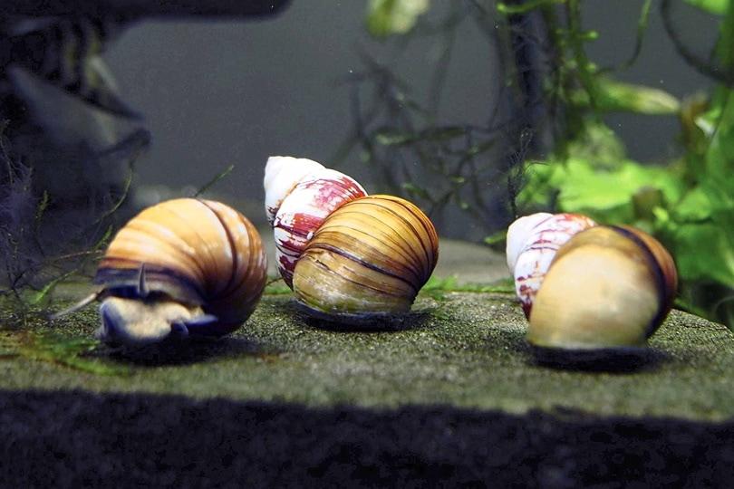 Japanese Trapdoor Snails_Amazon