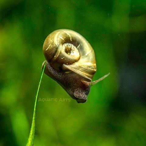 Kazen Aquatic Mix Colors Ramshorn Snails