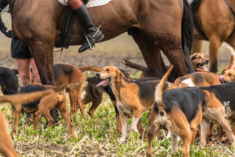 Kerry Beagle dogs_Henk Osinga Photography_shutterstock