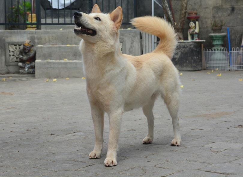 Kintamani Bali Dog_Adi Dharmawan_shuterstock