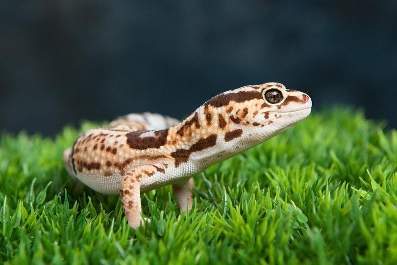 Leopard-Gecko_dragon_fang_shutterstock