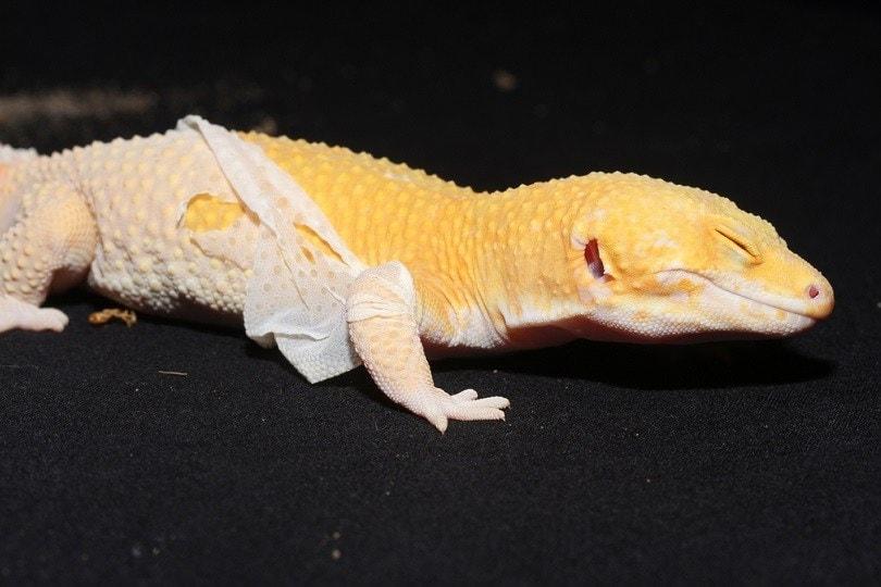 Leopard-gecko-shedding_Vince-Adam_shutterstock