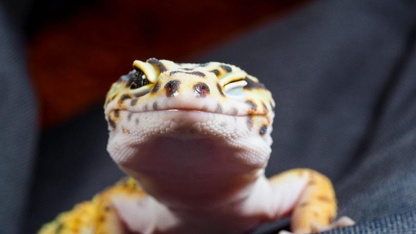 Leopard-geckos_somsak-mungmee_shutterstock