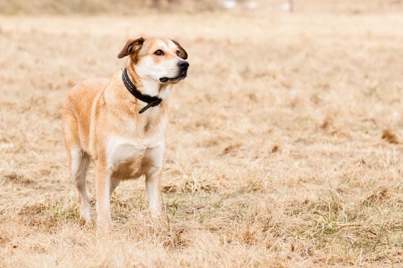 Mixed breed of German Shepherd and Labrador Retriever