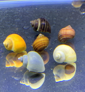 Mystery Snails_Amazon