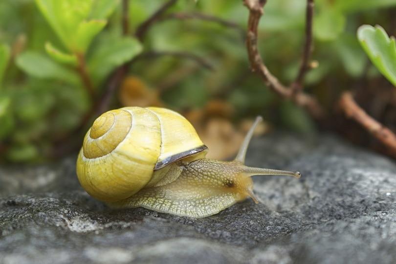 Mystery snail_Michael Strobel_Pixabay