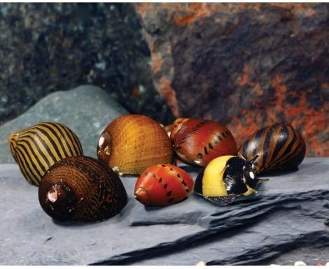 Nerite Snails_Amazon