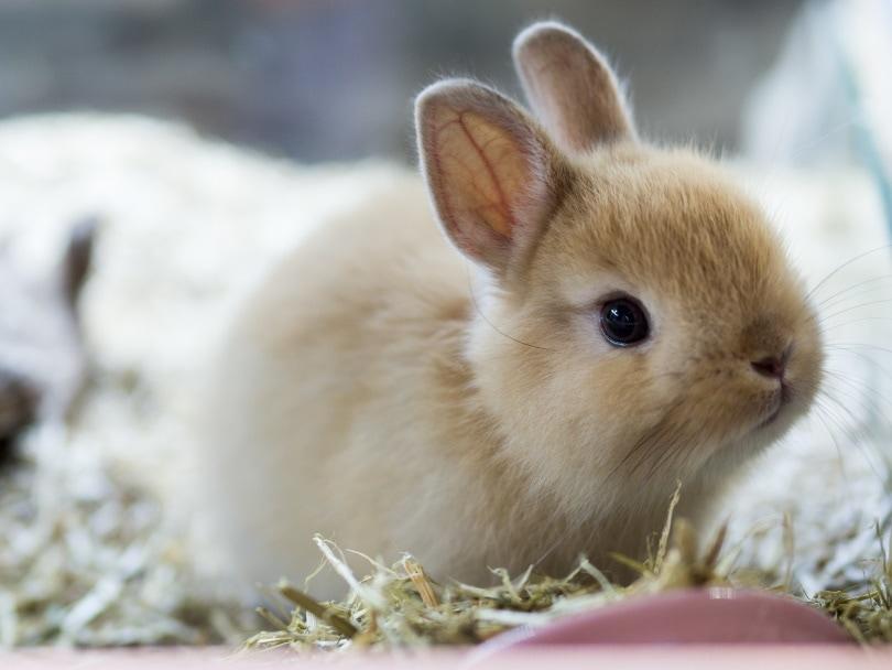 Netherlands dwarf rabbit_RATT_ANARACH_Shutterstock