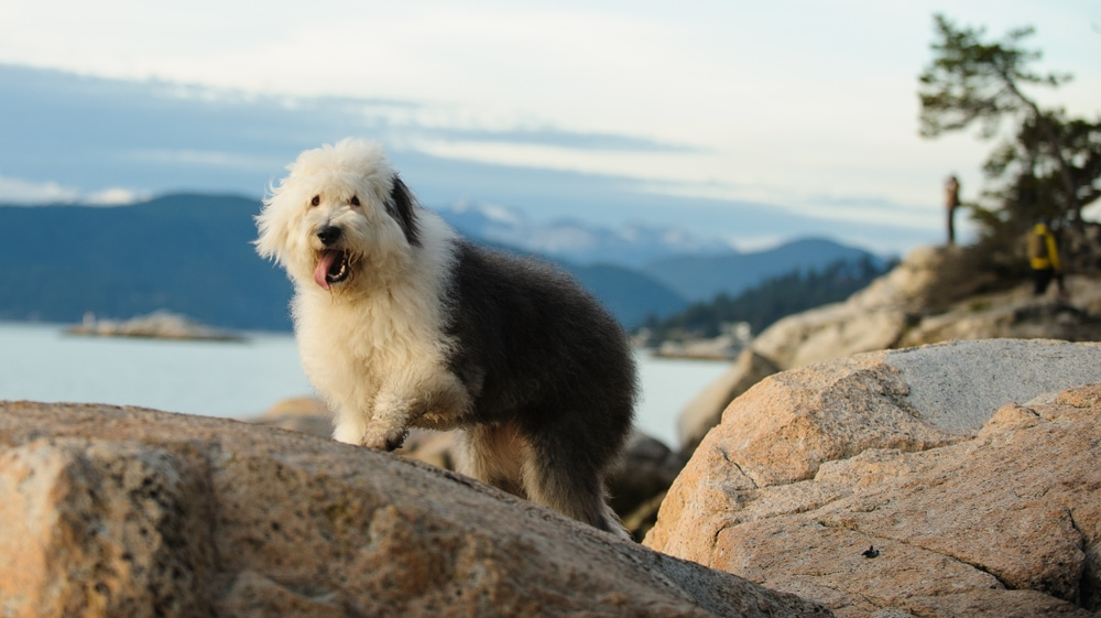 Old English Sheepdog hiking on rocks