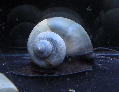 Polar Bear's Pet Shop 5 Blue Mystery Snails