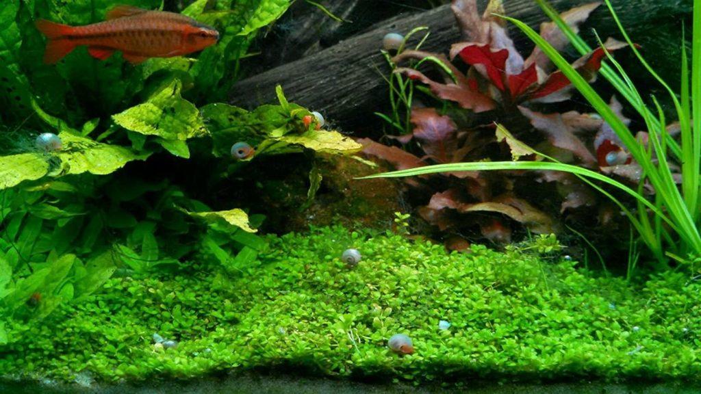 Polar Bear's Pet Shop 9+ Live Ramshorn Snails inside aquarium