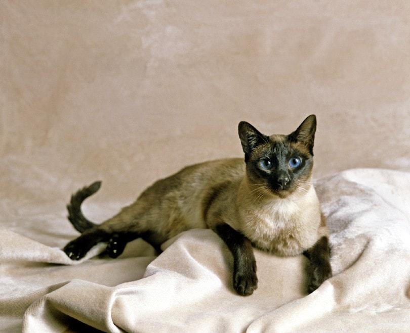 Seal Point Siamese Domestic Cat