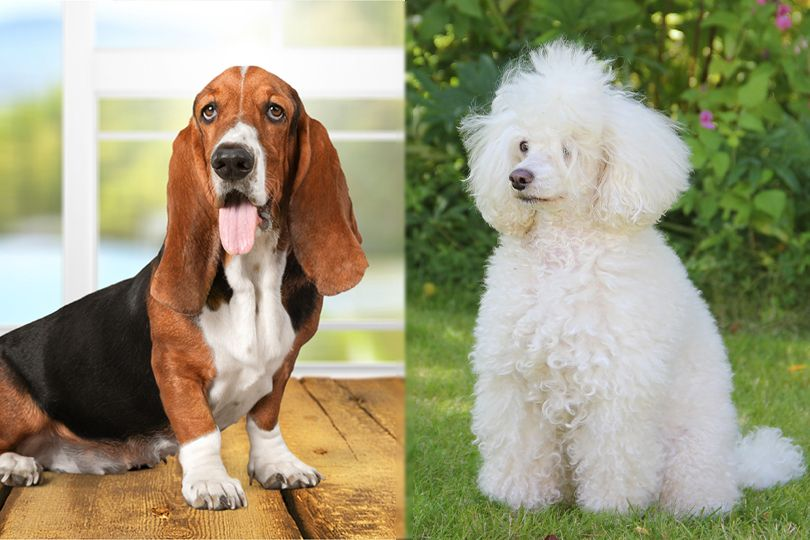 The parent breeds of Bassetoodle