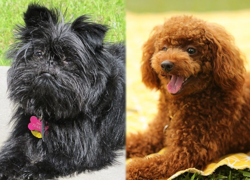 The parents of the Affenpoo.