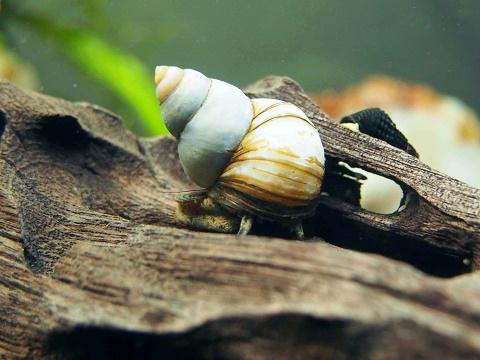 Trapdoor Snails_Amazon