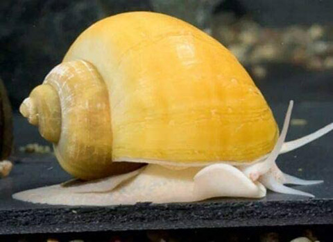 TruBlu Supply 10 Large Assorted Mystery Snails