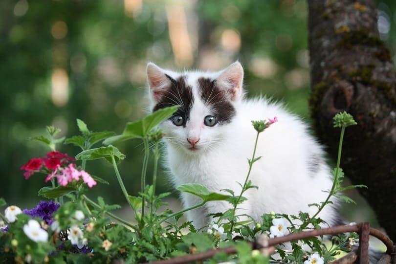 White-kitten-with-black-markings-sitting-in-the-flower-bed_Anastasija-Popova_shutterstock