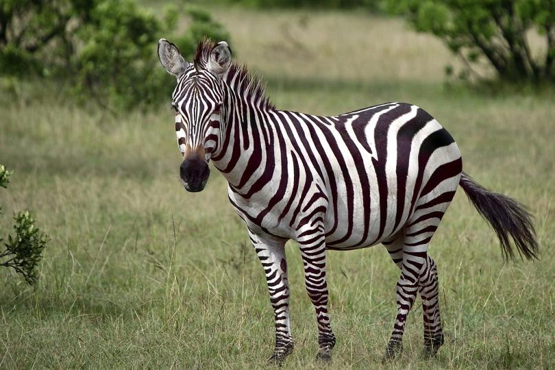 Zebra_Alp Cem_Pixabay