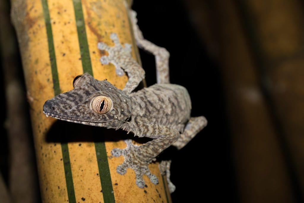 a Giant leaf-tailed gecko