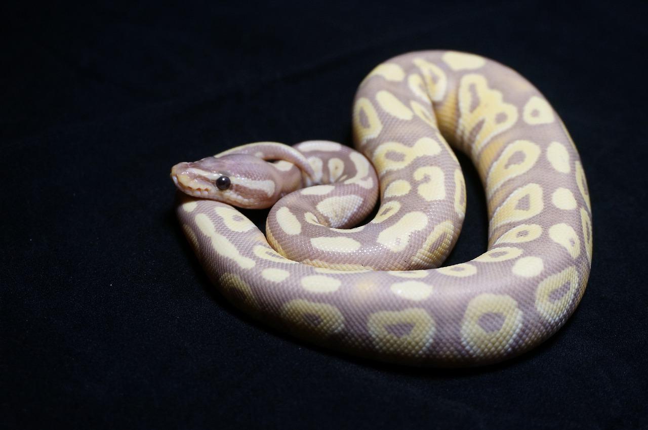 a ball python