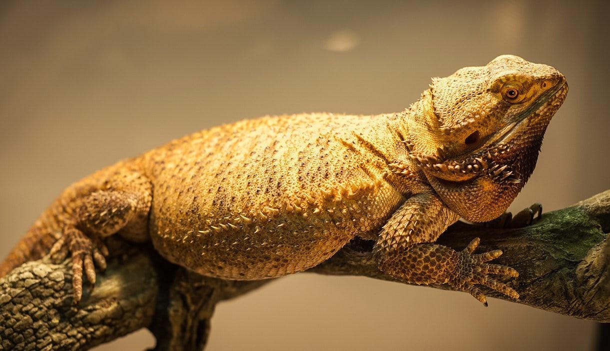 a german giant bearded dragon