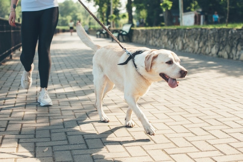 a labrador walking with his owner in the park