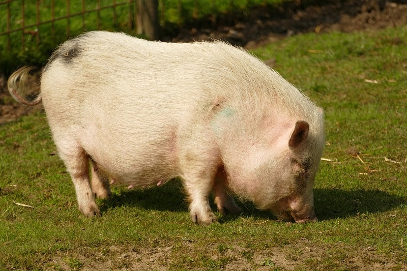 a potbellied pig