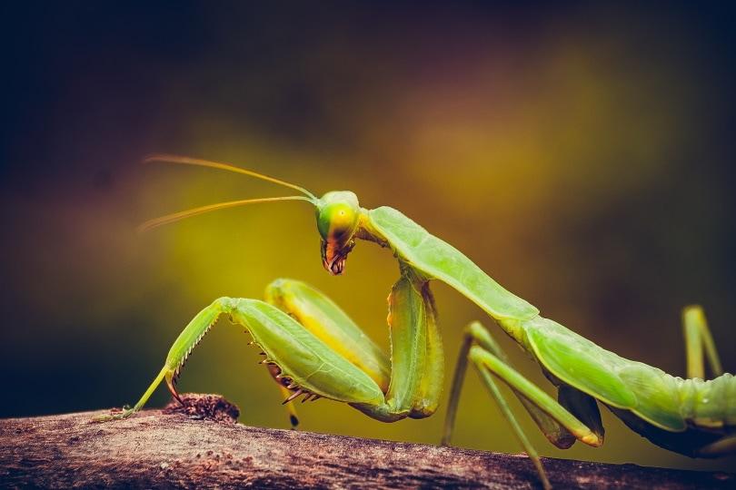 african mantis_Phu Nguyen_Pixabay
