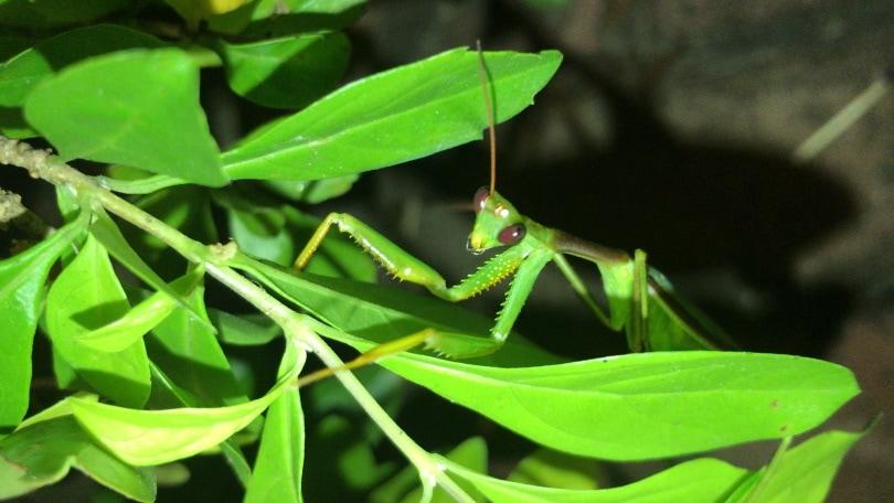 african mantis_Piqsels