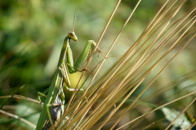 african praying mantis_Florian Pircher_Pixabay