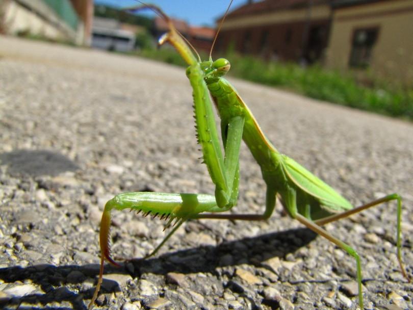 african praying mantis_Piqsels