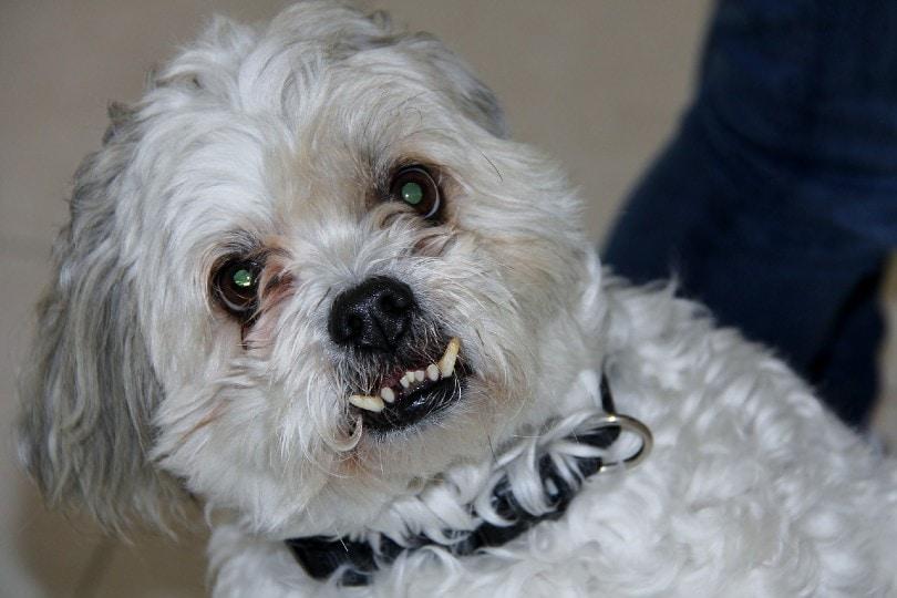 aggressive shi tzu dog