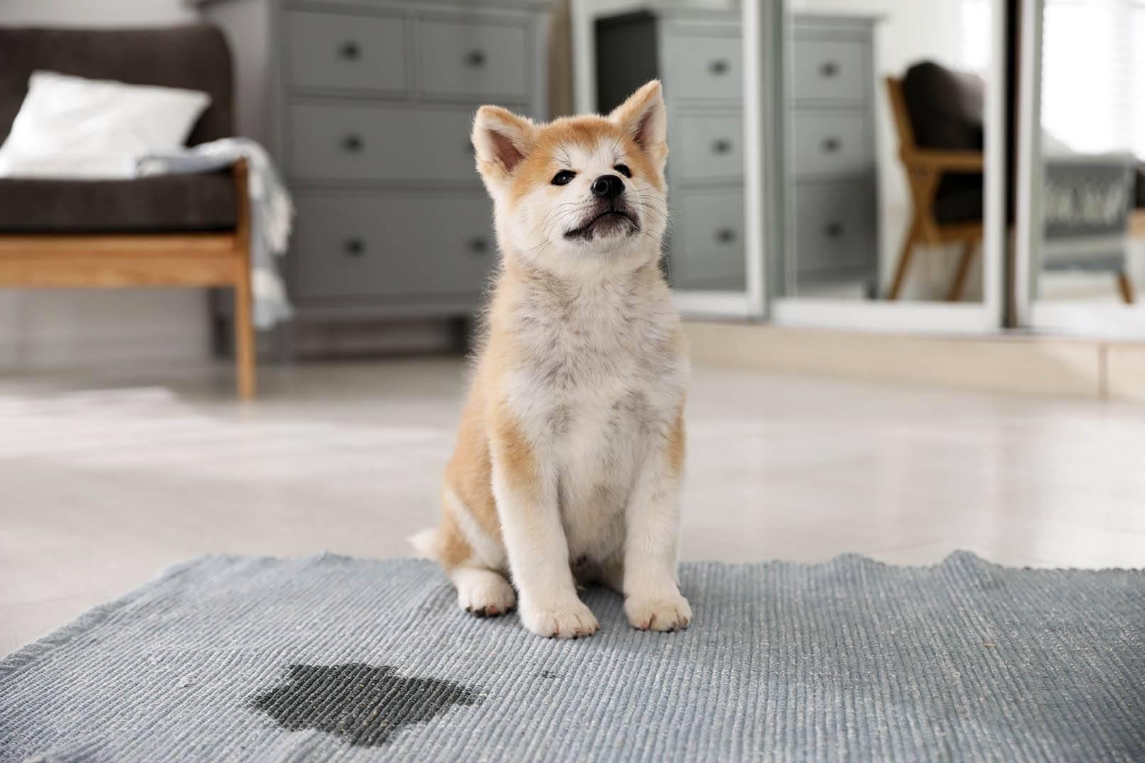 akita inu puppy peed in the carpet