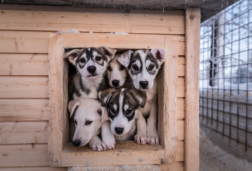 alaskan-husky-puppies_Jana-Caposova_shutterstock