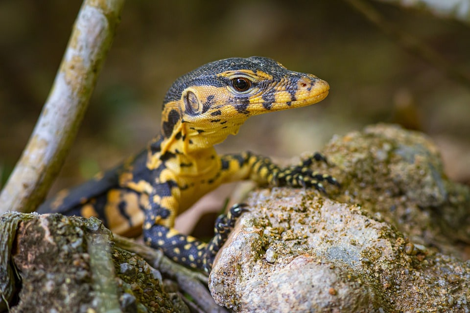 asian water monitor spotted