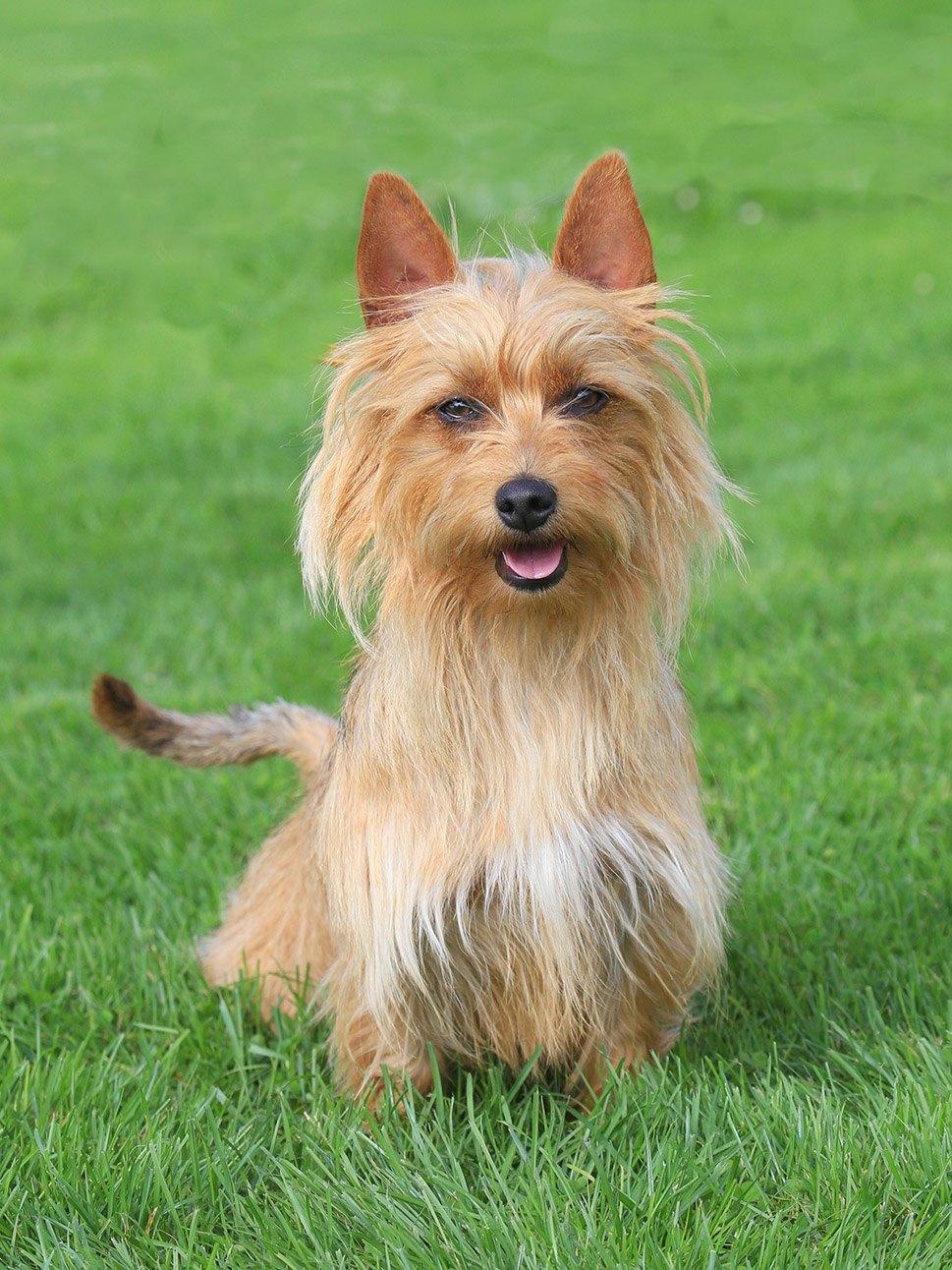 Australian Terrier in the grass