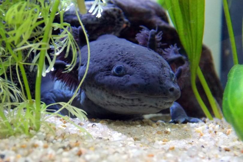 axolotl black_Tinwe_Pixabay