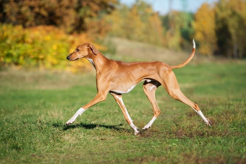 azawakh-dog-walking-outdoors_otsphoto_shutterstock