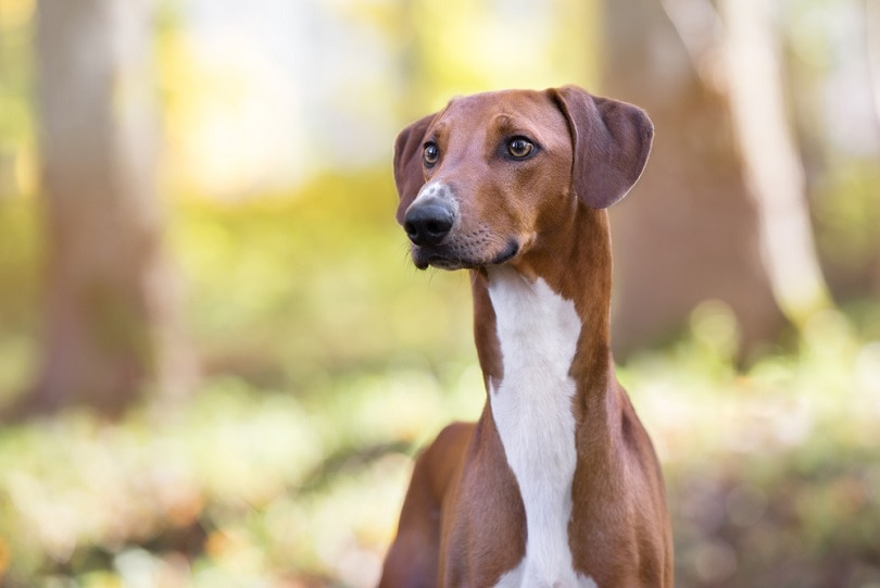 azawakh-dog_otsphoto_shutterstock