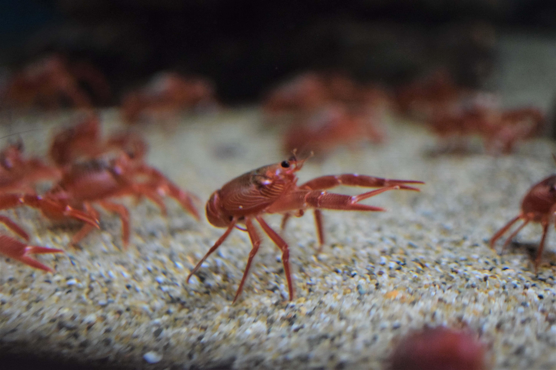 baby crayfishes