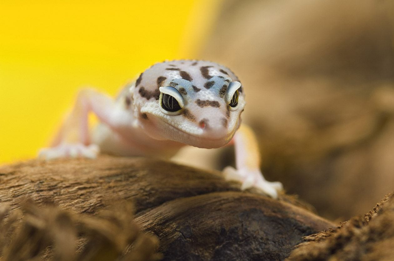 baby leopard gecko close up