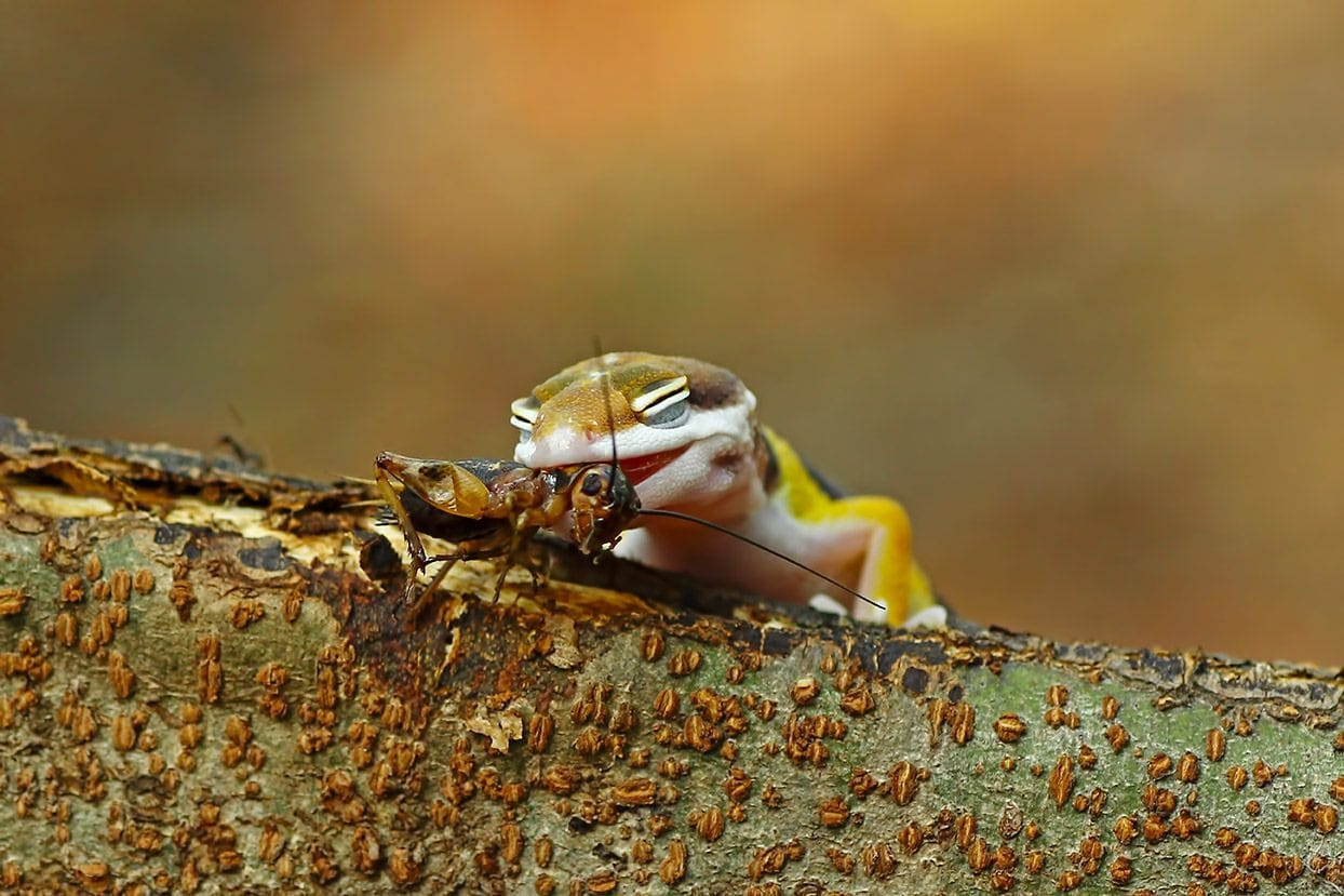 baby leopard gecko eating