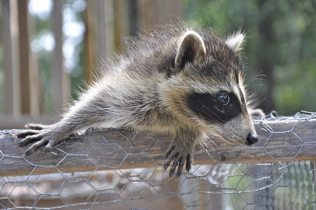 Baby raccoon on chicken coop