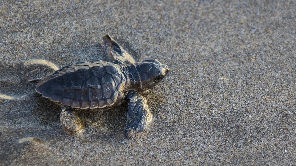 baby turtle in the sand