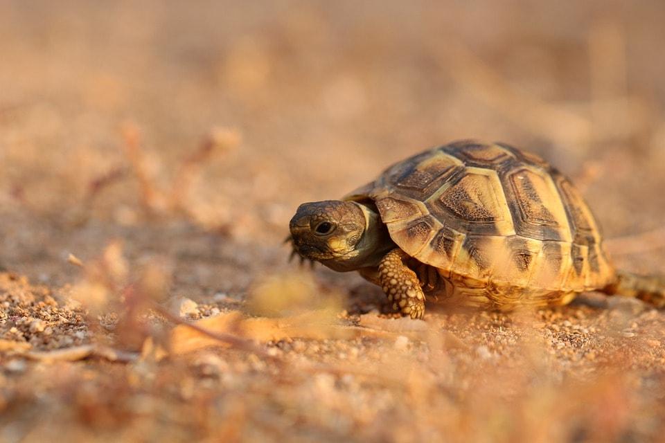 baby turtle walking