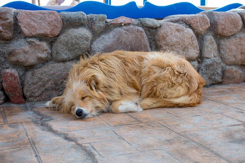 baladi sleep dog_Quisquilia_shutterstock