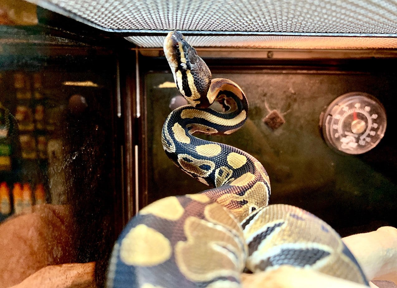 Ball python inside tank
