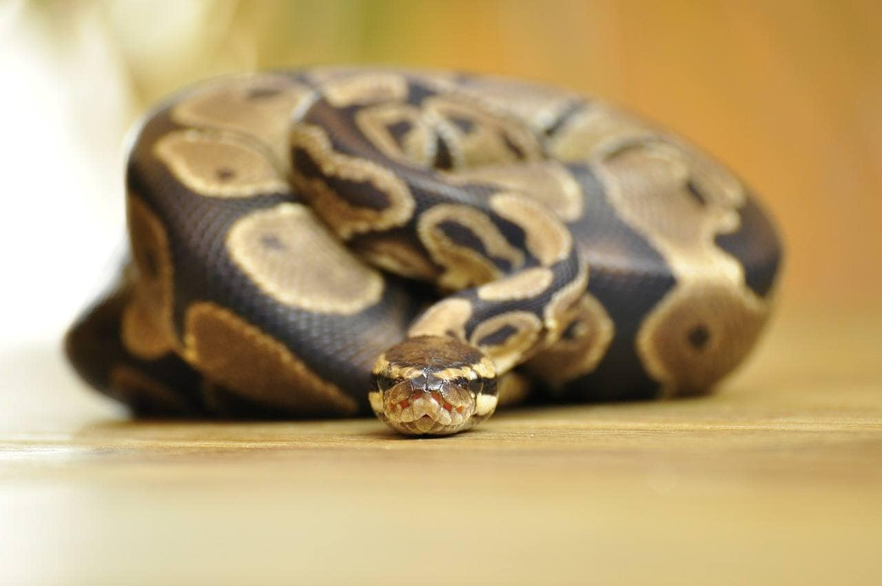 ball python on the floor