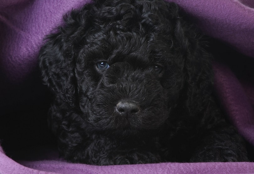 barbet-puppy_WilleeCole-Photography_shutterstock
